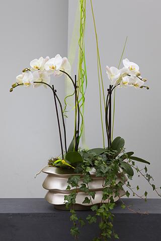 Phalaenopsis Rücken an Rücken